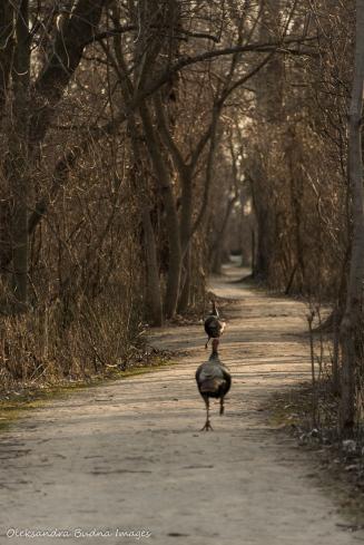 turkey at Point Pelee