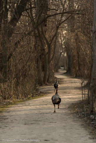 turkey at Point Pelee