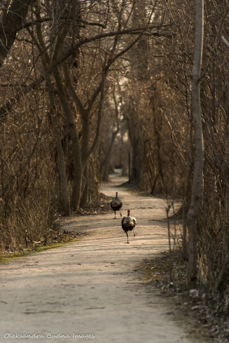 turkey at Poitn Pelee