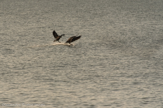 geese landing on the water at Point Pelee