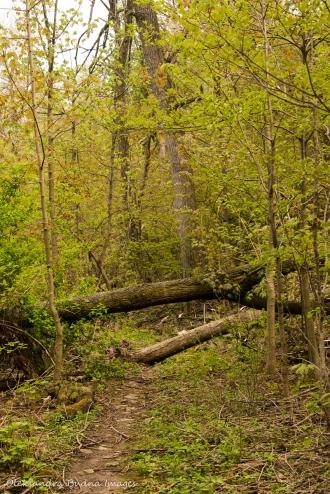 fallen trees on Bruce Trail in Hamilton