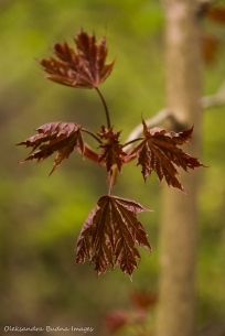 maple leaves in the spring