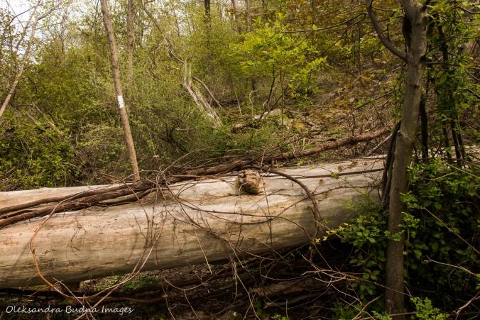 fallen tree on Bruce Trail in Hamilton