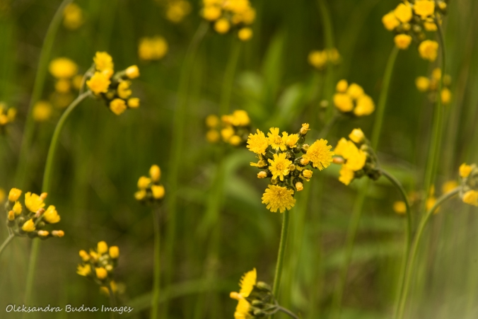 yellow flowers in the meadow