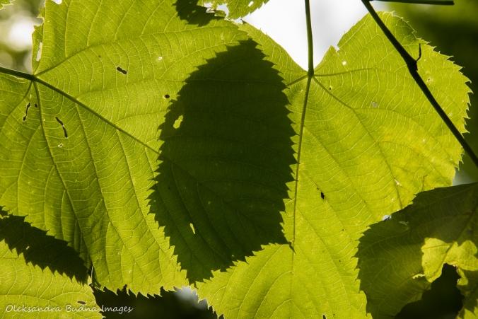leaves against the sun