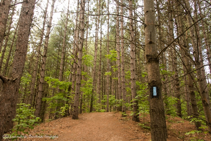pine forest at Hockley Valley Nature Reserve