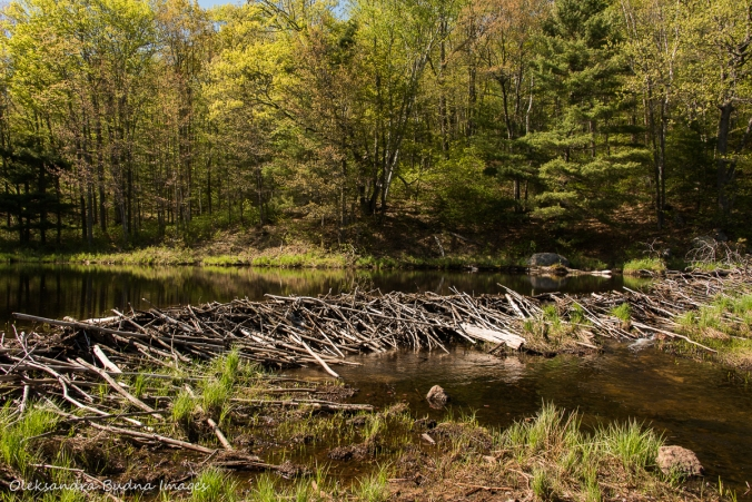 beaver dam on Crane Creek in Kawartha Highlands