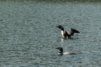 loons on Grace Lake in Killarney