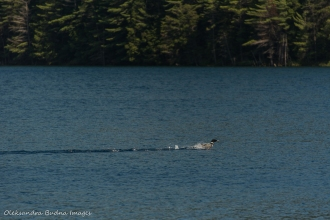 loon on Nellie Lake