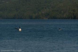 loons on Nellie Lake in Killarney