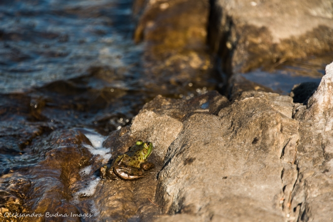 frog on a rock