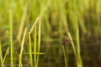 dragon fly on a blade of grass