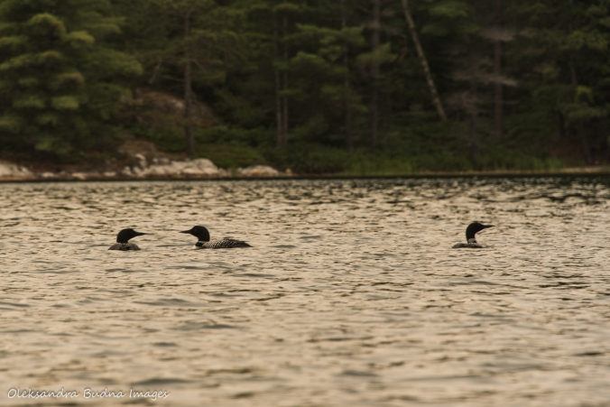 three loons on Grace Lake in Killarney