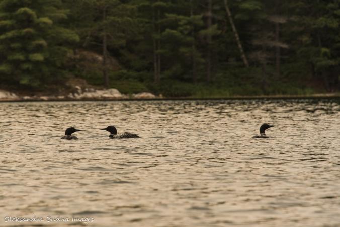 three loons on Grace Lake in Killarney