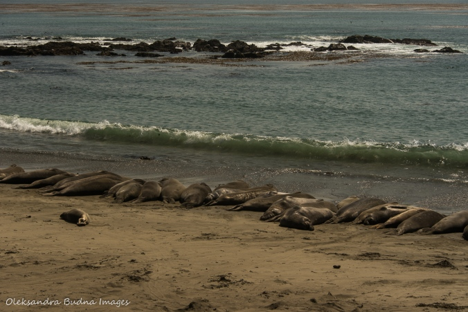 elephant seals off Pacific Coast highway 1 in California