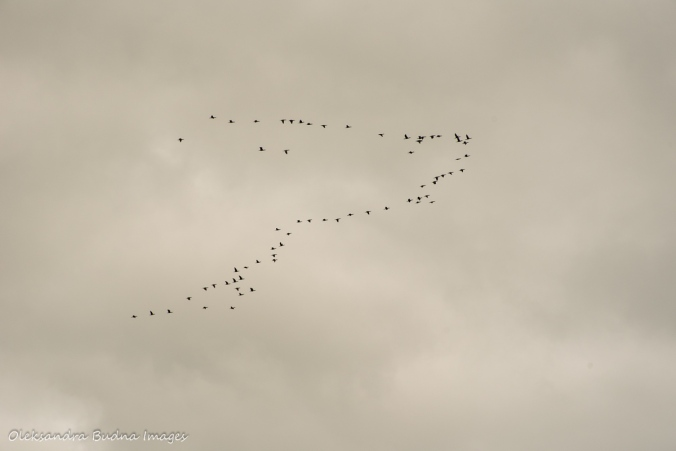 skein of geese