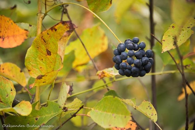black berries against yellow leaves