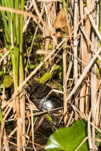 turtle in the marsh