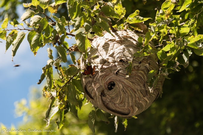 butterfly on wasp nest