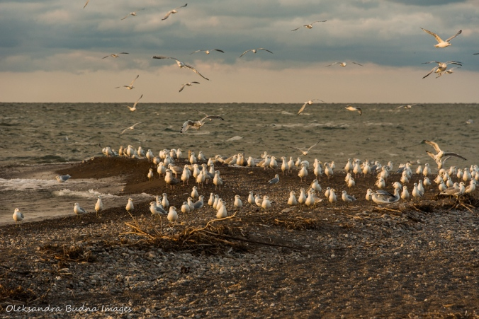 gulls at the southernmost tip in Point Pelee Park