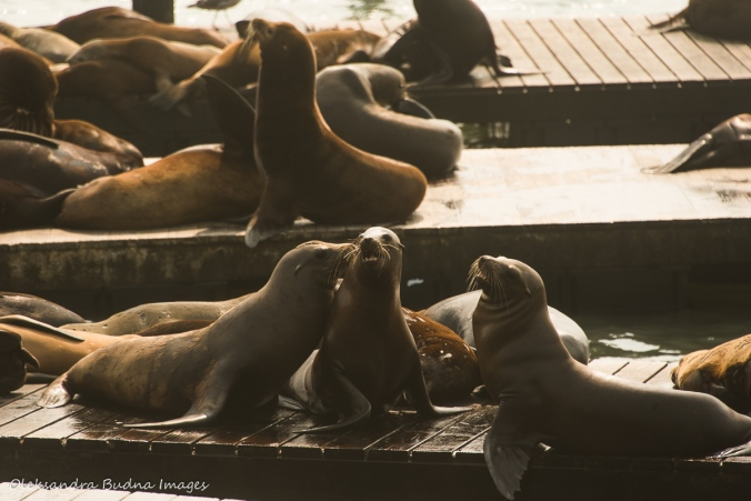 sea lions at Pier 39 in San Francisco