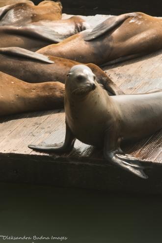 sea lions at Pier 39 in San Francisco