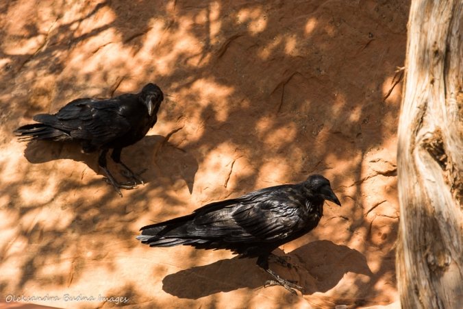 ravens on the ground