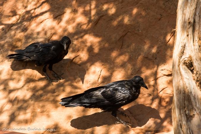 ravens on the ground