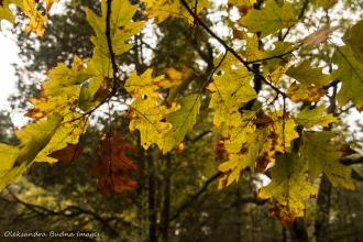 oak leaves in the fall