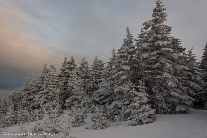 fir trees on top of Mont Mégantic in the winter