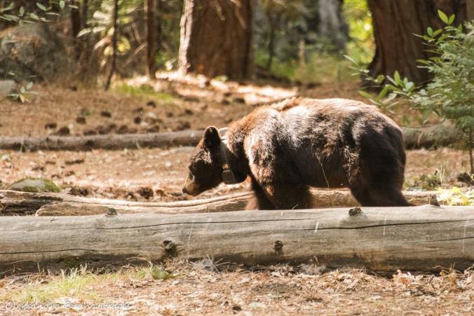 black bear at Yosemite