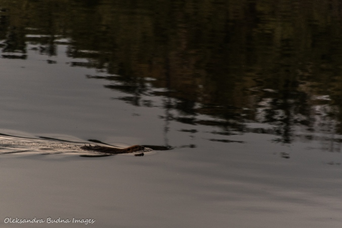 beaver swimming in the lake at The Massasauga