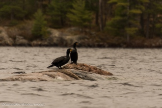 cormorans on the lake