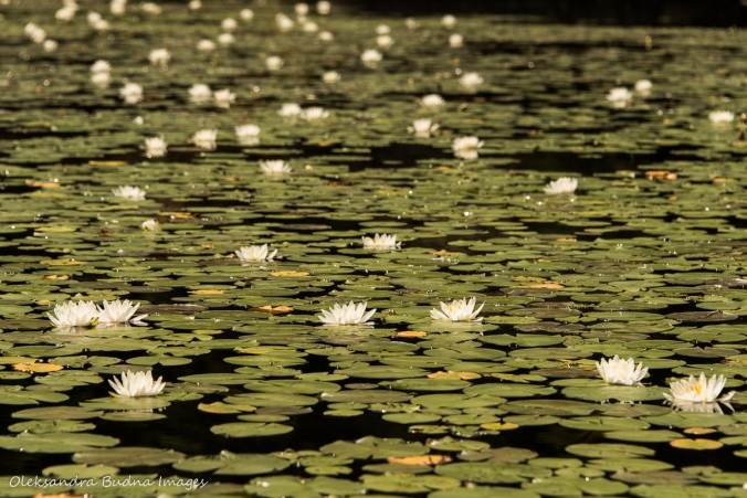 water lilies on Freeland Lake