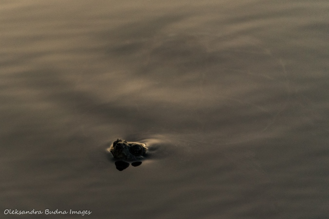 snapping turtle in Killarney Lake