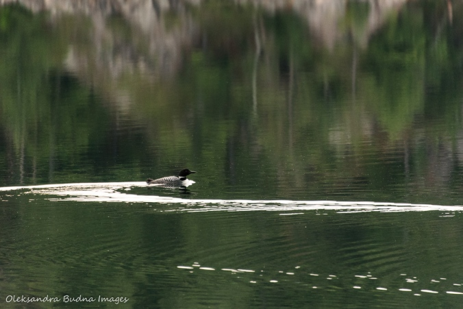 Loon swimming on Killarney lake