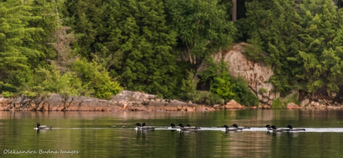 eleven loons on Killarney Lake