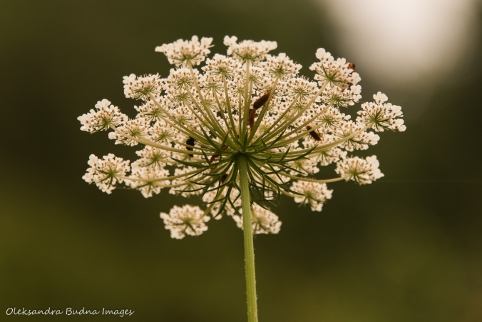 Queen Ann's lace flower