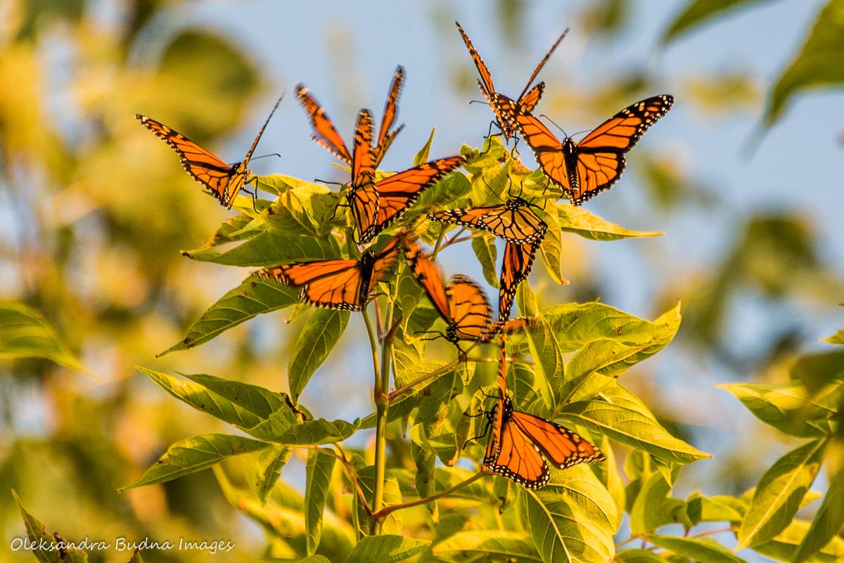 monarch butterflies in a tree