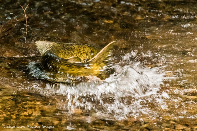 trout in a creek at Hockley Valley