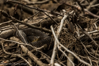 snake among twigs and branches