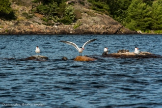 gulls on Three Narrows Lake in Killarney