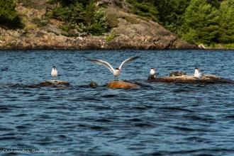 gulls on Three Narrows Lake in Killarney