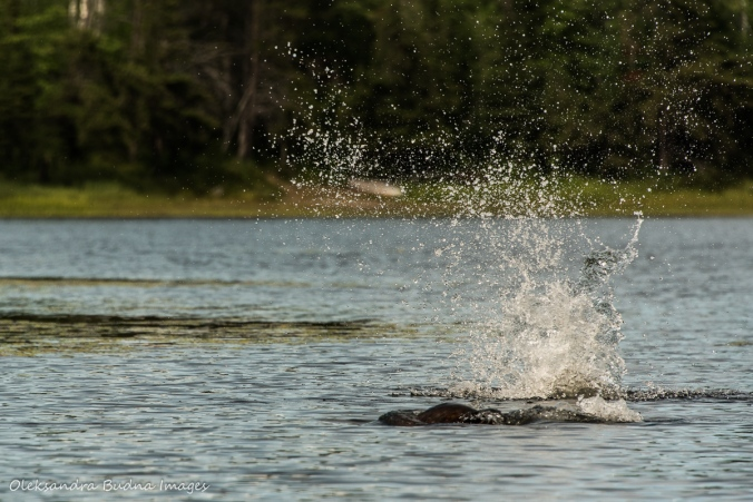 beaver splashing water in Murray Lake in Killarney