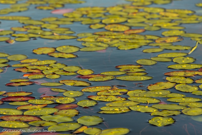 raindrops on lily pads