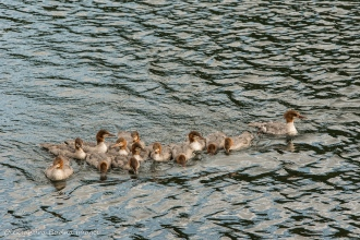 merganser ducks on grace Lake in Killarney