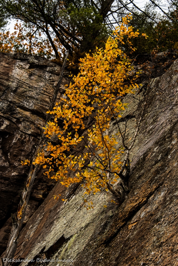 yellow birch on a cliff on Rock Lake in Algonquin