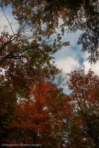 tress in the fall against blue sky