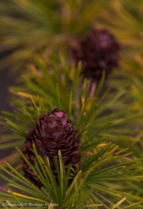 tamarack branch and pine cone