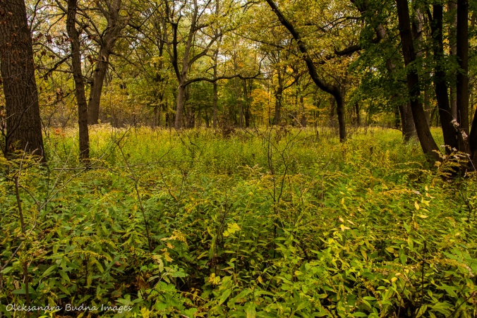 oak savanna at Ojibway Park in Windsor